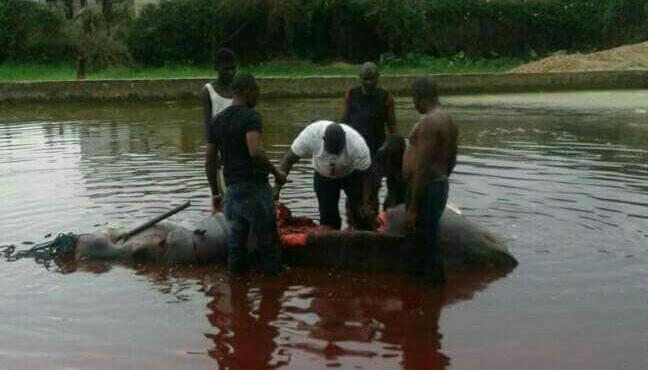 Burundi : Plus de 15 hippopotames tués depuis 2016, des environnementalistes s'indignent